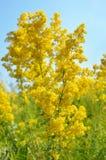 Flor do verum do Galium no prado fotos de stock royalty free