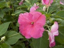 Flor do Vinca, pervinca de Madagáscar Foto de Stock Royalty Free