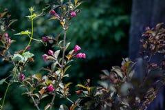 Flor do Weigela Fotos de Stock Royalty Free