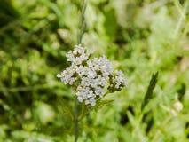 Flor do yarrow comum que floresce em um jardim fora Imagens de Stock Royalty Free