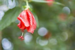 Flor do ylang de Ylang fotos de stock royalty free
