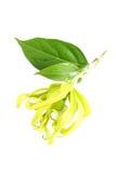 Flor do ylang de Ylang Imagens de Stock Royalty Free
