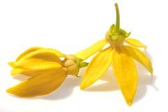 Flor do Ylang-Ylang Fotos de Stock