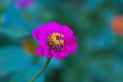 Flor do Zinnia Imagem de Stock