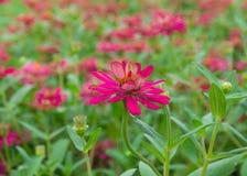 Flor do Zinnia, flor cor-de-rosa Fotografia de Stock Royalty Free