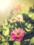 Flor do zinnia do vintage, fundo Foto de Stock Royalty Free