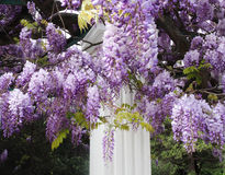 Flor doble de la glicinia Foto de archivo