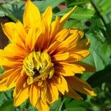 Flor doble de la puesta del sol cherokee del hirta del Rudbeckia Fotografía de archivo libre de regalías