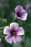 Flor doble del geranio Fotos de archivo