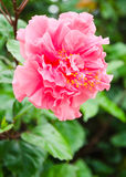 Flor dobro do hibiscus Imagens de Stock Royalty Free