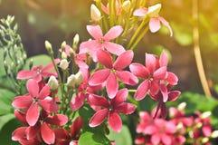 Flor doce cor-de-rosa da mão na manhã Imagens de Stock