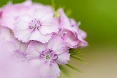 Flor doce cor-de-rosa de william imagens de stock royalty free