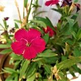Flor doce do rosa do willium fotos de stock royalty free