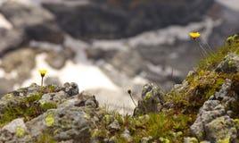 Flor dois amarela de um uniflora catsear gigante do hypochaeris que cresce na rocha imagens de stock