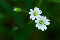 Flor dois branca selvagem pequena Imagem de Stock Royalty Free