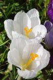 Flor dos açafrões Fotografia de Stock