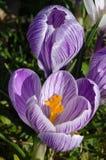 Flor dos açafrões Imagem de Stock