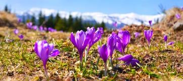 Flor dos açafrões Imagem de Stock Royalty Free
