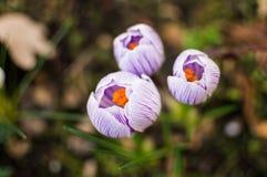 Flor dos açafrões Fundo da mola Imagens de Stock