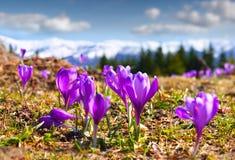 Flor dos açafrões na mola Imagem de Stock