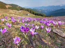 Flor dos açafrões na mola Imagens de Stock