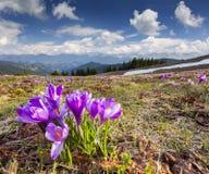 Flor dos açafrões na mola Fotografia de Stock Royalty Free