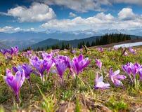 Flor dos açafrões na mola Foto de Stock