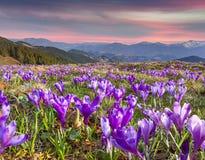 Flor dos açafrões na mola nas montanhas Fotografia de Stock