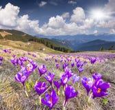 Flor dos açafrões na mola nas montanhas Foto de Stock