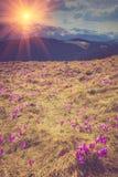 Flor dos açafrões na mola nas montanhas Imagem de Stock Royalty Free