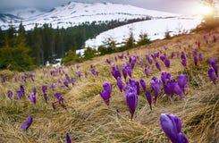 Flor dos açafrões na mola nas montanhas Imagens de Stock Royalty Free