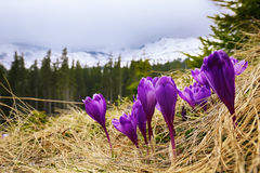 Flor dos açafrões na mola nas montanhas Fotos de Stock