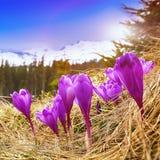Flor dos açafrões na mola nas montanhas Fotografia de Stock Royalty Free