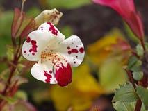 Flor dos almíscares do macaco Fotos de Stock Royalty Free