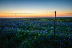 Flor dos Bluebonnets com o nascer do sol Imagem de Stock