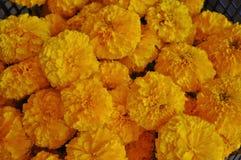 Flor dos cravos-de-defunto imagens de stock royalty free