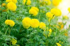 Flor dos cravos-de-defunto no campo Fotografia de Stock
