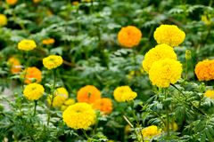 Flor dos cravos-de-defunto no campo Imagens de Stock