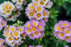 Flor dos crisântemos Imagem de Stock Royalty Free