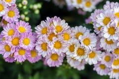 Flor dos crisântemos Foto de Stock Royalty Free