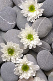 Flor dos crisântemos com pedras do zen imagem de stock