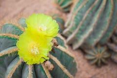 Flor dos del cactus Imagenes de archivo