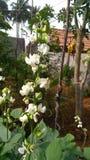 Flor dos feijões Fotos de Stock