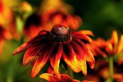 Flor dos jardins na flor completa Flores em conjuntos pequenos em um arbusto abstraia o fundo Fotografia de Stock