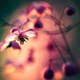 Flor dos jardins na flor completa Flores em conjuntos pequenos em um arbusto abstraia o fundo Imagens de Stock
