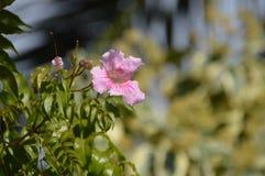 Flor dos jasminoides de Pandorea Imagem de Stock