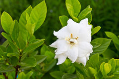 Flor dos jasminoides do Gardenia Imagem de Stock Royalty Free