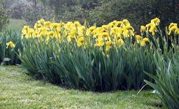 Flor dos lírios de água perto da lagoa do jardim Imagens de Stock Royalty Free