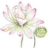 Flor dos lótus ilustração royalty free