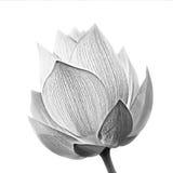 Flor dos lótus imagem de stock royalty free